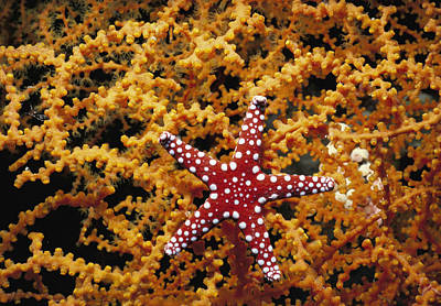 Radial Symmetry Photograph - Starfish Feeding On Coral In The Red Sea by Jeff Rotman