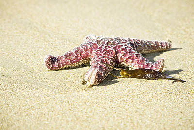 Photograph - Starfish On The Beach by Priya Ghose