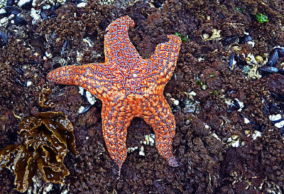 Starfish - Oregon Coastline Art Print by George Bostian