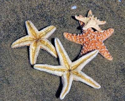 Photograph - Starfish by Tammy Espino