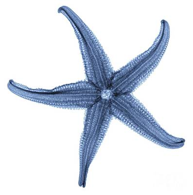 Starfish X-ray Art Print by Gustoimages