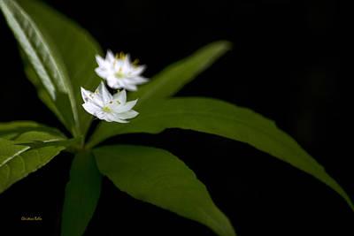 Photograph - Starflower Trientalis Borealis by Christina Rollo