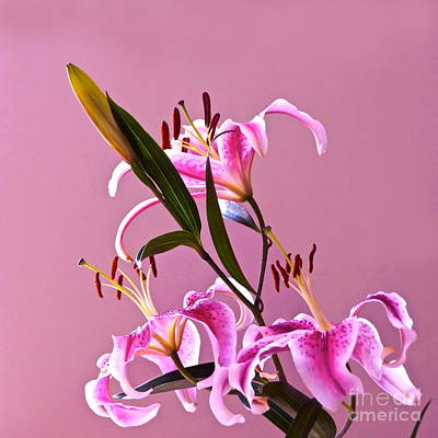 Photograph - Stargazer Lilies Square Frame by Byron Varvarigos