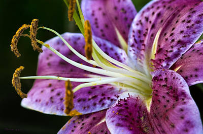 Photograph - Stargazer Lily by Robert Culver