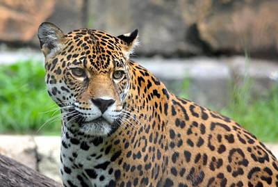 Photograph - Staring Jaguar by Richard Bryce and Family