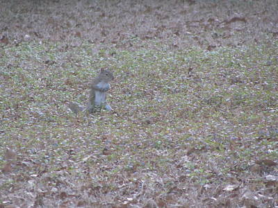 Photograph - Staring Squirrel by Rickey Rivers Jr