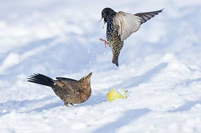 Starlings Wall Art - Photograph - Starling And Blackbird In Snow by John Devries/science Photo Library