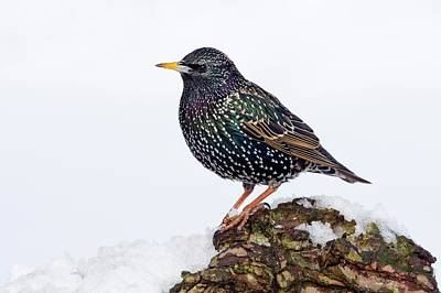 Starlings Wall Art - Photograph - Starling by John Devries/science Photo Library