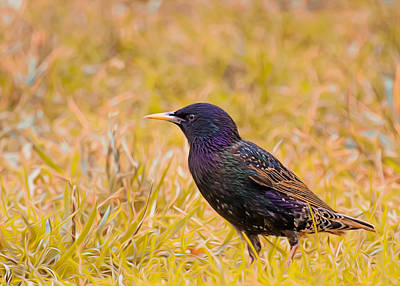 Starlings Photograph - Starling On Lime Grass by Bill Tiepelman