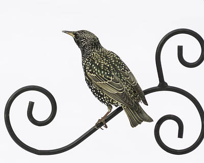 Starlings Photograph - Starling Perched Against Snow by Brian Caldwell