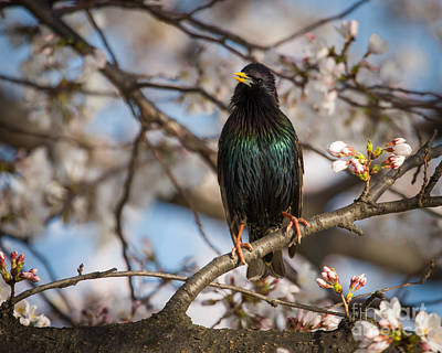 Photograph - Starling With Blossoms by Dale Nelson