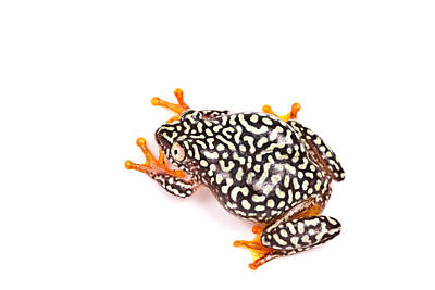 Anuran Photograph - Starry Night Reed Frog by David Kenny