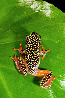 Anuran Photograph - Starry Night Reed Frog, Heterixalus by David Northcott