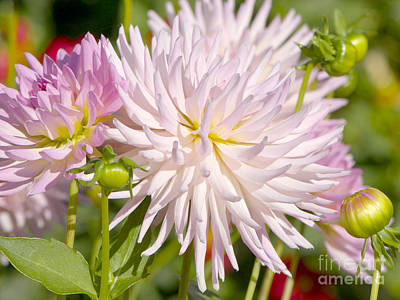 Photograph - Stars Lady Dahlia by Sharon Talson