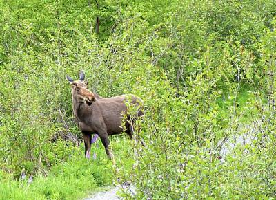 Startled Young Moose Art Print by Barbara Griffin