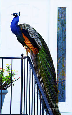 Photograph - Stately Peacock by Joan McArthur