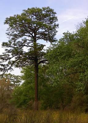 Stately Pine Original by Warren Thompson