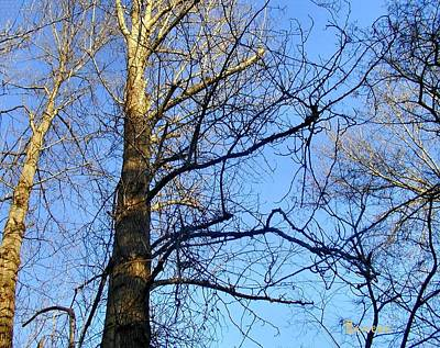 Photograph - Stately Trees 3 by Sadie Reneau