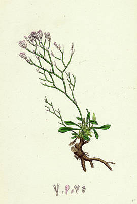 Sea Lavender Drawing - Statice Caspia Matted Sea-lavender by English School