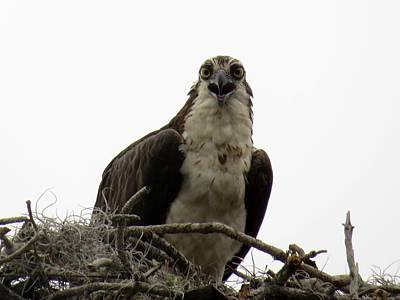 Osprey Photograph - Stay Away From My Nest by Zina Stromberg