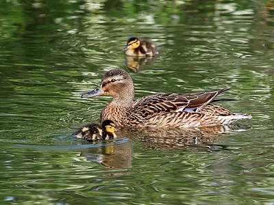 Baby Mallards Photograph - Staying Close To Mom by Gill Billington