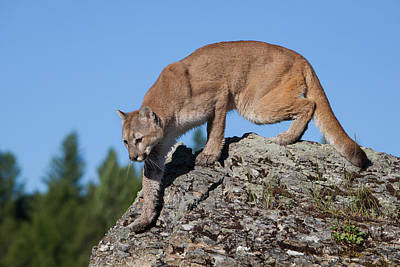 Photograph - Stealthy Cougar by Jack Bell