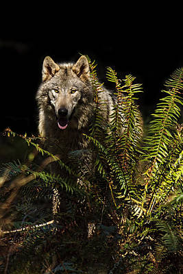 Photograph - Stealthy Wolf by Wes and Dotty Weber