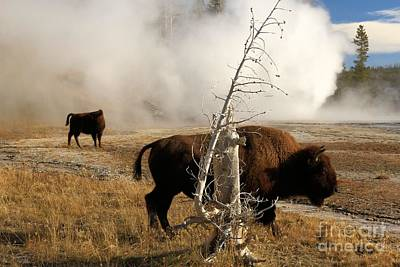 Photograph - Steaming Bison by Adam Jewell