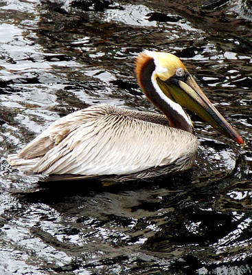Photograph - Steinhatchee Pelican by Sheri McLeroy