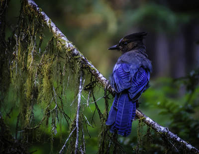 Photograph - Stellar Blue Jay by Dutch Ducharme
