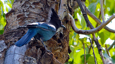 Photograph - Stellar Jay by Brent Dolliver
