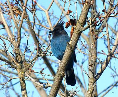 Photograph - Stellar Jay In Winter by Will Borden