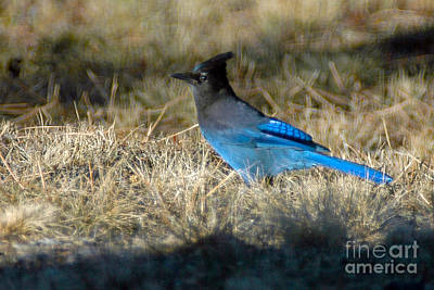 Photograph - 1040a Stellar's Jay by NightVisions