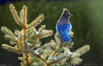 . Bird. Stellar Jay. Winter. Snow Painting - Stellar Jay On Spruce by R christopher Vest