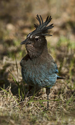 Photograph - Stellar's Jay - Inland Race by Gregory Scott