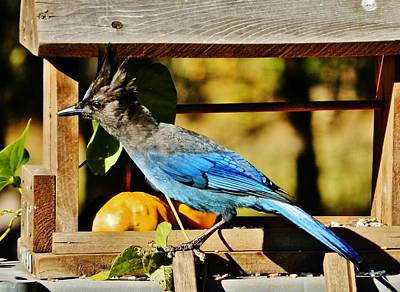 Photograph - Steller's Jay by VLee Watson