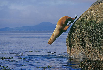 Travel - Stellars Sea Lion by Buddy Mays