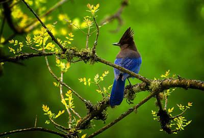 Photograph - Steller Jay by Stuart Deacon