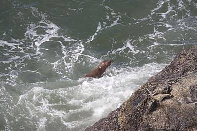 Photograph - Steller Sea Lion - 0016 by S and S Photo