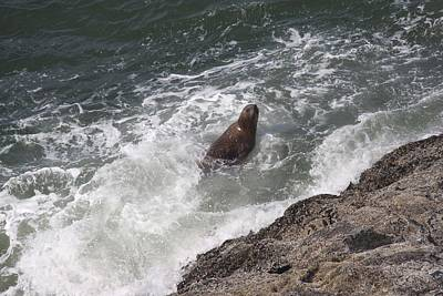 Photograph - Steller Sea Lion - 0018 by S and S Photo