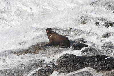 Photograph - Steller Sea Lion - 0022 by S and S Photo