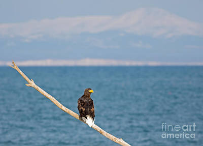 Hawk Photograph - Stellers Eagle With Russian Background by Natural Focal Point Photography