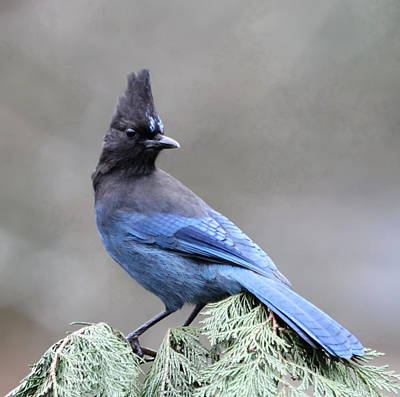 Steller's Jay Art Print by Angie Vogel