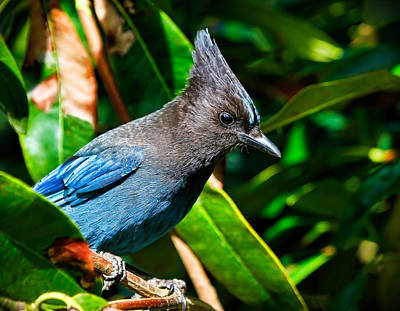 State Love Nancy Ingersoll Rights Managed Images - Stellers Jay Royalty-Free Image by Athena Mckinzie