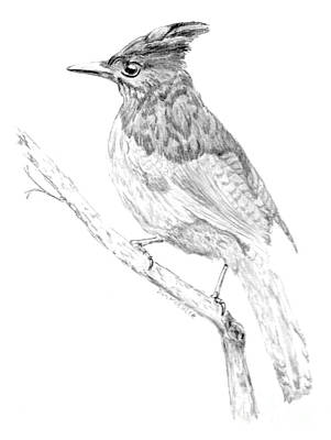 Steller Jay Drawing - Steller's Jay by Donald Koehler