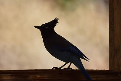 Photograph - Stellers Jay by Ernie Echols