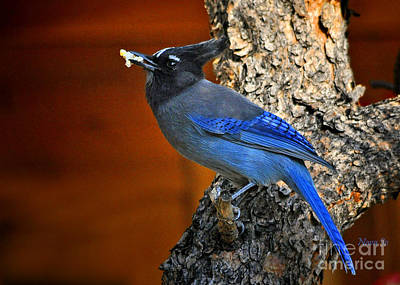 Steller's Jay In Colorado Art Print by Nava Thompson