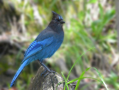 Photograph - Stellers Jay by Loree Johnson