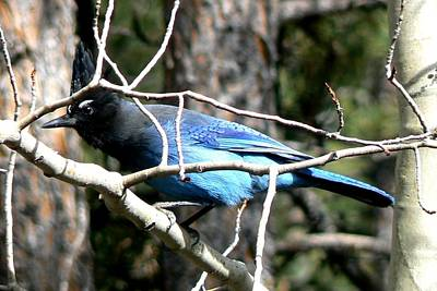 Photograph - Steller's Jay - Peaking Through Branches by Marilyn Burton