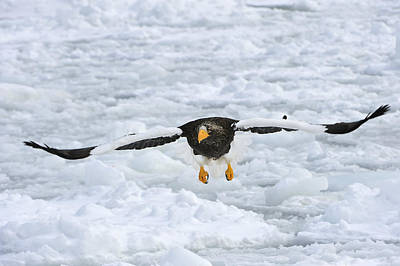 Eagle In Flight Photograph - Stellers Sea Eagle Flying Hokkaido Japan by Thomas Marent